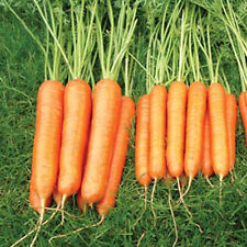 Pack Kings Vegetable Seed  Carrot Sweet Candle F1 Quality Garden Seeds