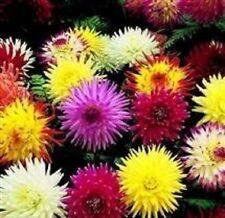 Dahlia - Cactus Hybrids - 25 Seeds