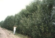 100 FAST GROWING HYBRID WILLOW TREES 1'-2'!   GROWER DIRECT   FAST PRIVACY!!