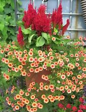 1000 Celosia Seeds, Forest fire Scarlet- Cockscomb~Plants thrive in heat and sun