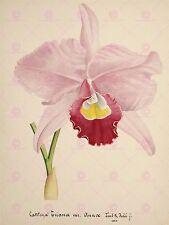 PAINTING BOOK PAGE ORCHID CATTLEYA TRIANAE VAR ANNAE LARGE PRINT POSTER LF1433