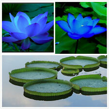 Flower seeds Blue LIGH Lotus Seeds nelumbo nucifera pond plants not water lily