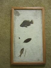 LARGE  mural of several Fossil fish leaf Priscacara diplomystus 15 x 26 inches