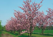 Prunus serrulata FLOWERING CHERRY TREE Seeds!