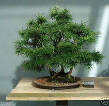 120 seeds evergreen Larch tree pine wood pinus bonsai Pseudolarix amabilis