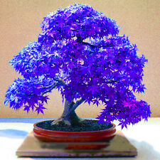 10Lot Rare Beauty Blue Maple Seeds Bonsai Tree Plants Home Garden Decoration