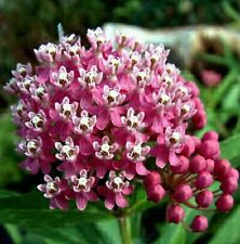 Asclepias speciosa, 50 seeds, Showy Milkweed, butterfly garden, easy, cold-hardy