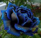 35 SEMI DI ROSA Blu Cobalto Rarissima.