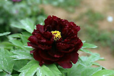 20 Seeds Beautiful Chinese Rare Black Peony Flower Seed Hot