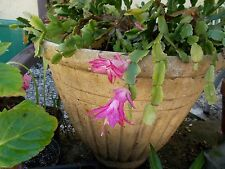 Christmas Cactus 4 Pink cuttings (bud-less) for sale