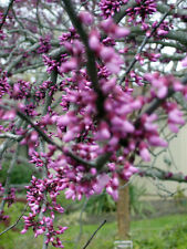 """20 EASTERN REDBUD """" FOREST PANSY """" TREE SEEDS - Cercis canadensis"""