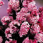 Viburnum Bodnantense Dawn Fragrant Winter Flowering Evergreen Shrub Plant