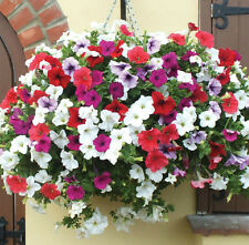 Petunia Mix Flower Seeds Pack of 50