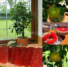 "SEEDS – Self-fertile Dwarf Grapefruit ""Rio Red"" ""citrus paradisi"" Indoor Outdoor"