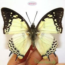5 unmounted butterfly Nymphalidae polyura nepenthes nepenthe GUANGXI A1 A1-