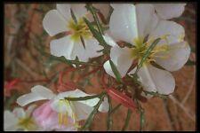 177074 CACTUS fioriture nella primavera FORMATO A4 FOTO STAMPA