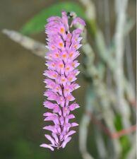 Dendrobium secundum Orchidee NATURF.= AUßERGEWÖHNLICHE ART + ABSOLUT BLÜHFÄHIG !