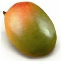 "12"" Sapling of the very large and sweet Keitt Mango"