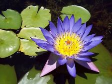 5 BLUE LOTUS Nymphaea Caerulea, Asian Water Lily Pad Flower seeds  F-042