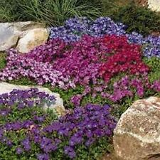 Rock Cress-(Aubrieta Hybrida)- Royal Mix- 100 Seeds