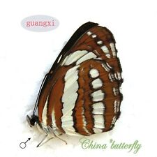 2 unmounted butterfly Nymphalidae Neptis hylas GUANGXI A1  A1-