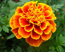FRENCH MARIGOLD * Tagetes patula * QUEEN SOPHIA * DOUBLE BICOLOR * EASY * SEEDS
