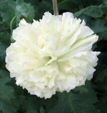 250 WHITE CLOUD PEONY POPPY Papaver Peoniflorum Double Flower Seeds *FLAT SHIP