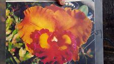 Cattleya giant flower hybrid