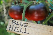 BLUE HELL Tomato Seeds - 5 Seeds only - Dark Blue color - ultra rare
