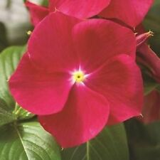 40+ Vinca Strawberry Periwinkle Flower Seeds / Annual