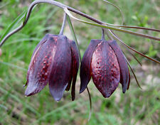 Fritillaria Ruthenica * Black Night Flower * Limited Quantity VERY RARE *3 Seeds