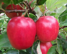 Live Apple Fruit Plant Malus domestica 3 Feet Height plant One Plant