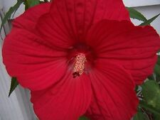 LUNA RED HARDY HIBISCUS Moscheutos Flower Small Bush Seeds (5 Seeds) F-048