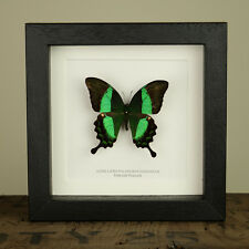 Emerald Peacock Mounted Butterfly  insect taxidermy