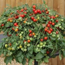 RED PROFUSION F1 HYBRID TOMATO 20 SEED BEST SUITED FOR LARGE BASKET OR CONTAINER