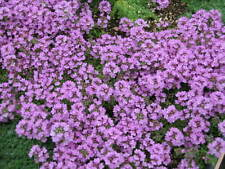 Creeping Thyme Seed Ground Cover Full Sun Poor Rocky Soil Attractive Flowers