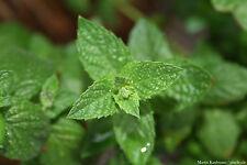 Spearmint - Krauseminze - Mentha spicata - 100 Samen Teepflanze Duftpflanze 1412