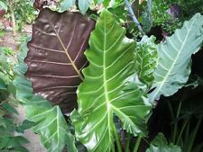 "Alocasia plant ""Mayan Mask"" elephant ear NEW"