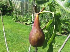 Rare figs trees * Ficus carica ´ Lungo del Portogallo´  Figs * 35 fresh seeds