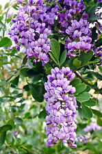 Sophora secundiflora- exoticTexas-Mountain-Laurel rare Mescal bean seed 15 seeds