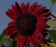 Rote Sonnenblume Samen Deko Außendeko Ideen zur Dekoration für den Winter Balkon