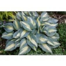 HOSTA HIGH SOCIETY PLANT 2 YEAR OLD  BUY ANY 5 HOSTAS GET 1 FREE