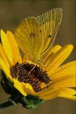 720056 Clouded Sulphur On Yellow Flower A4 Photo Print