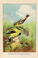 "1926 Vintage TODHUNTER BIRDS ""GOLDFINCH"" LOVELY 90 YEARS OLD Color Lithograph"