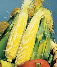 Early Golden Bantam Sweet CORN 50+ seeds Old Favorite Heirloom  NON-GMO