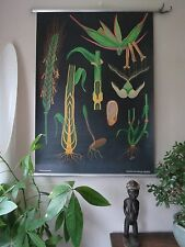 VINTAGE JUNG KOCH QUENTELL PULL ROLL DOWN BOTANICAL SCHOOL CHART OF RYE GRASS