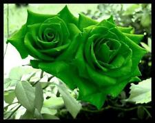 Green Rose live plant