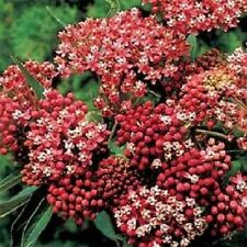 100 Seeds Butterfly Weed Carmine Rose Flower Seeds