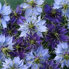 50+ NIGELLA LOVE IN THE MIST UNIVERSITY MIX FLOWER SEEDS / RESEEDING ANNUAL