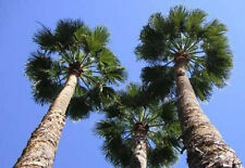 Washingtonia robusta Mexican Fan Palm 10 seeds